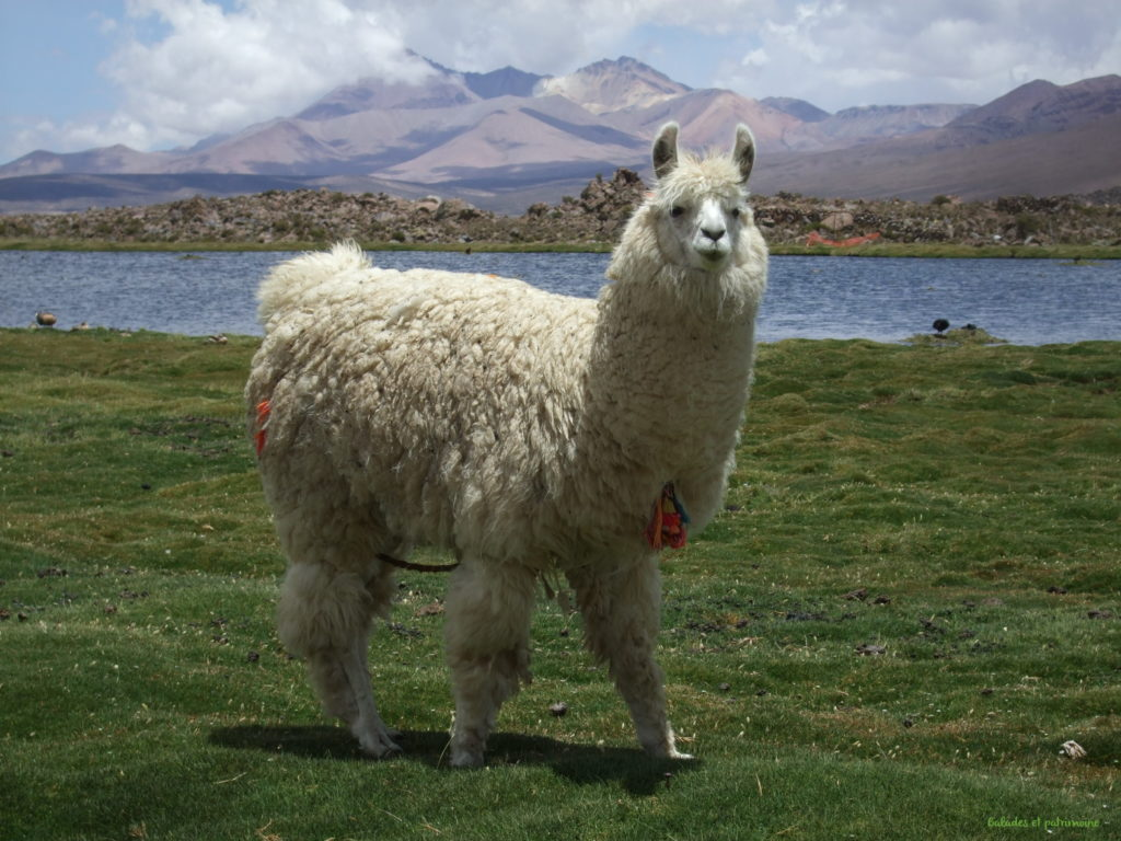 Parinacota-chili-lama