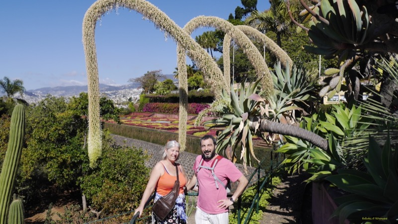 Agave attenuata-jardin Madère-Balades et Patrimoine