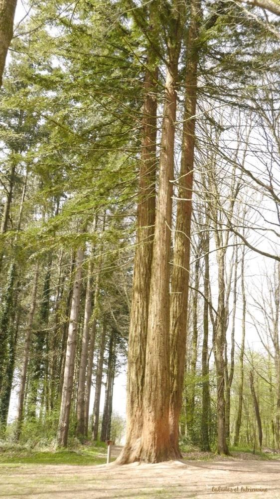 séquoia geant